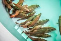 東星斑成魚