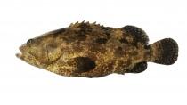 山虎斑成魚