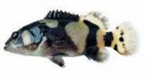 龍膽石斑魚苗
