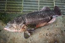 龍膽石斑成魚